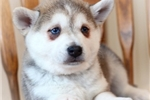 Picture of Timbre~Adorable Miniature Husky Boy!