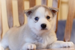 Picture of Gorgeou Mini Husky Boy~Rio!