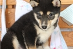 Picture of Zion~Sweet, Smart, and GORGEOUS Mini Husky!