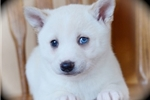 Picture of Beautiful Miniature Husky Gal~Tera!