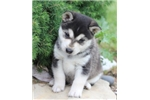 Picture of Kiro~Handsome Mini Husky Boy!