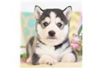 Picture of Stunning Miniature Husky ~ Zeus