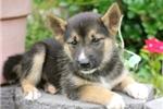 Picture of Hawkeye~Stunning Siberian Husky Fella!