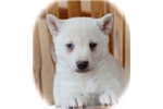 Picture of Tamara- Gorgeous Mini Husky Girl!