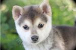 Picture of Rilea~Precious Miniature Husky Girl!