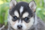 Picture of Rexie~Adorable Miniature Husky Princess!