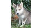 Picture of Hanibal~Stunning Mini Husky Prince!