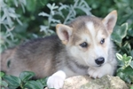 Picture of Hero~Stunning Mini Husky Fella!
