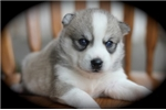 Picture of Leela~Lovely Mini Husky Gal!