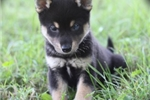 Picture of Rio~Handsome Mini Husky Guy!