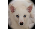 Picture of Flora~Lovely Miniature Husky Gal!