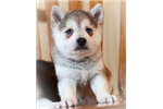 Picture of Tashi- Sweet Miniature Husky Boy!