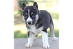 Picture of Adorable Miniature Husky~Zane!
