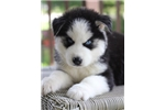 Picture of Plush Siberian Husky Boy~Aiden!