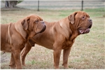 Picture of AKC Registered Champion Bloodlines