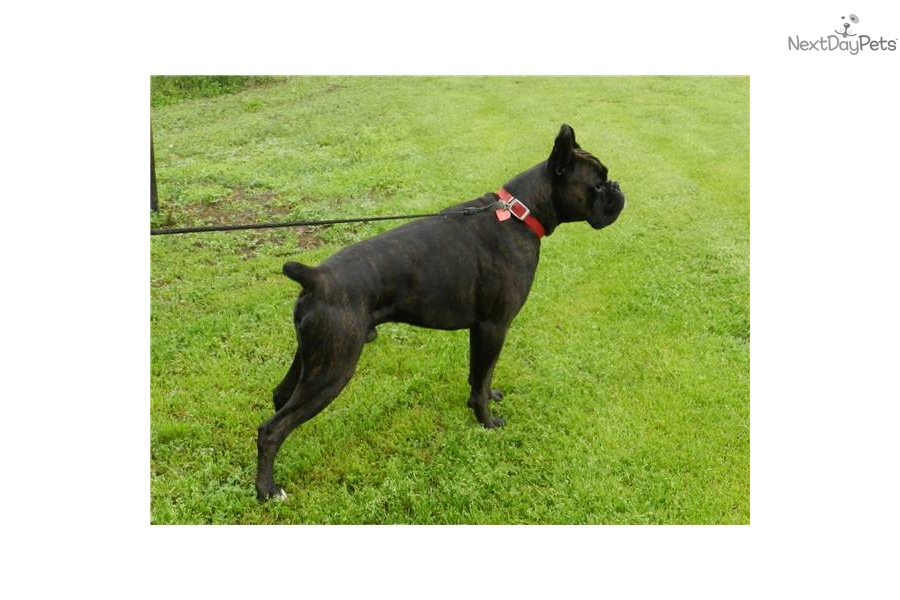 sealed brindle male brindle boxer head with white neck boxers brindle ...