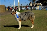 Picture of Blue Merle Male