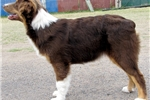 Picture of Uno-Red Merle Male