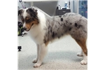 Picture of Operation-Blue Merle Male