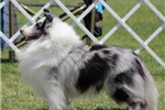 Picture of Blue merle Boy