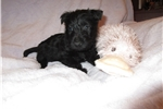 Picture of AMADALA - AKC BLACK SCOTTIE LASS