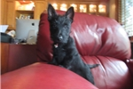 Picture of Merida - AKC Black Scottie Lass