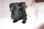 Picture of Rey - AKC Black Scottie girl