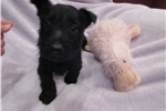 Picture of Padme  - AKC BLACK SCOTTIE LASS