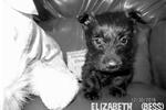 Picture of Elizabeth Tudor (Bess) -AKC Black Scottie Lass