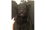 Picture of PHASMA  - AKC BLACK SCOTTIE LASS