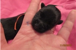 Picture of Mary Tudor -AKC Beautiful Black Scottie Lass