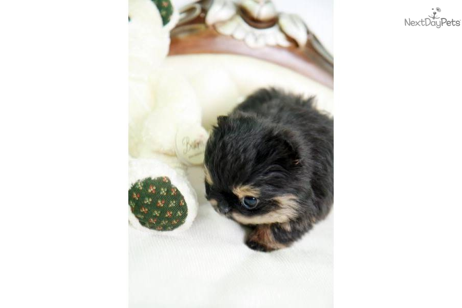 Meet Baby Tazz a cute Pomeranian puppy for sale for $5,000 ...