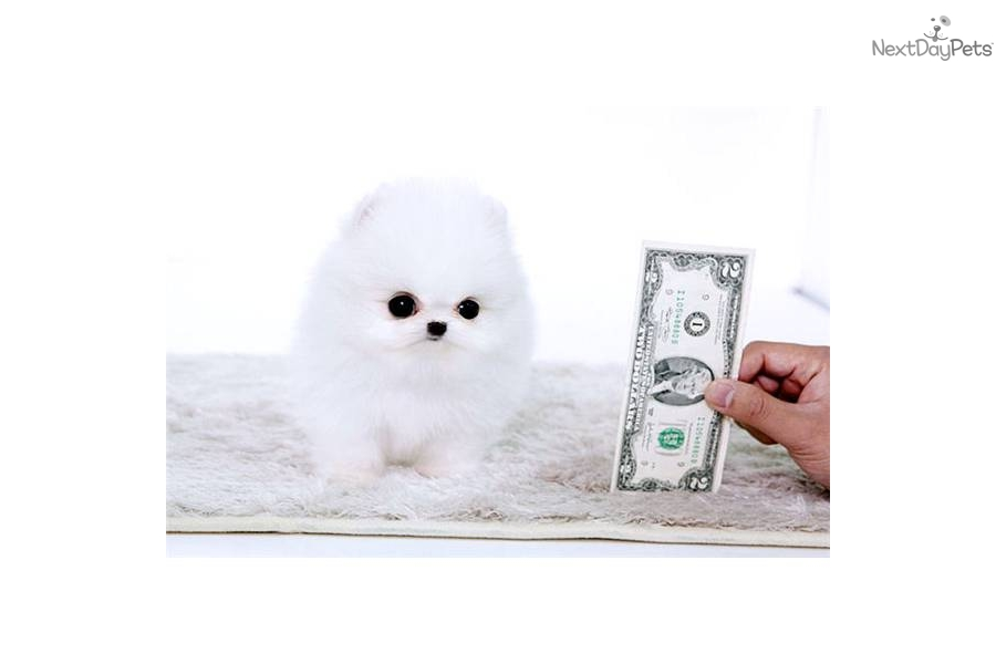 Meet Chanelle a cute Pomeranian puppy for sale for $4,500 ...