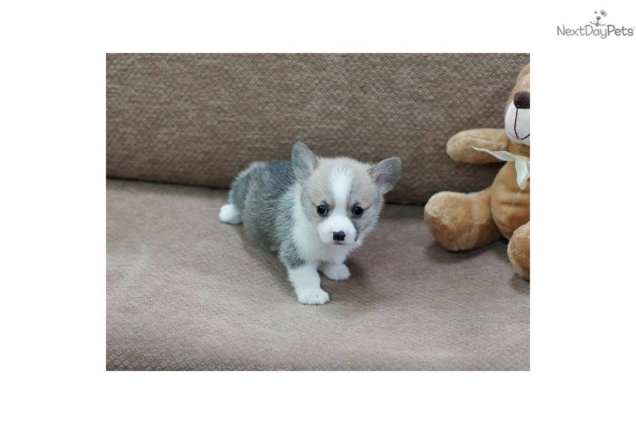 Welsh Corgi, Pembroke puppy for sale near Las Vegas ...