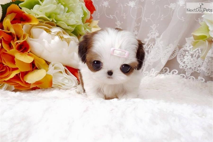 Cute Shih Tzu Puppies Teacup | www.imgkid.com - The Image ...