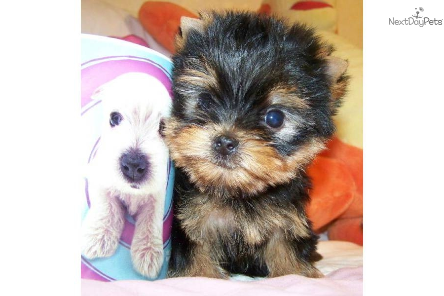 Yorkshire Terrier - Yorkie puppy for sale near Jackson ...