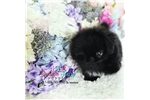 Picture of Gorgeous Micro Pekingese Boy Available!