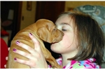Picture of CHAMPION SIRED VIZSLA PUP