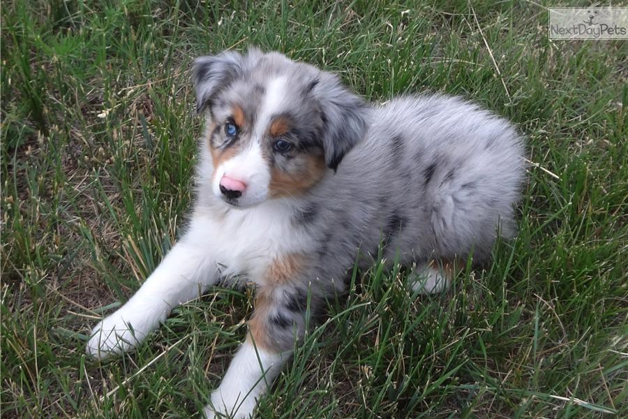 Meet Rio a cute Australian Shepherd puppy for sale for  1 000    Blue Merle Australian Shepherd Puppy