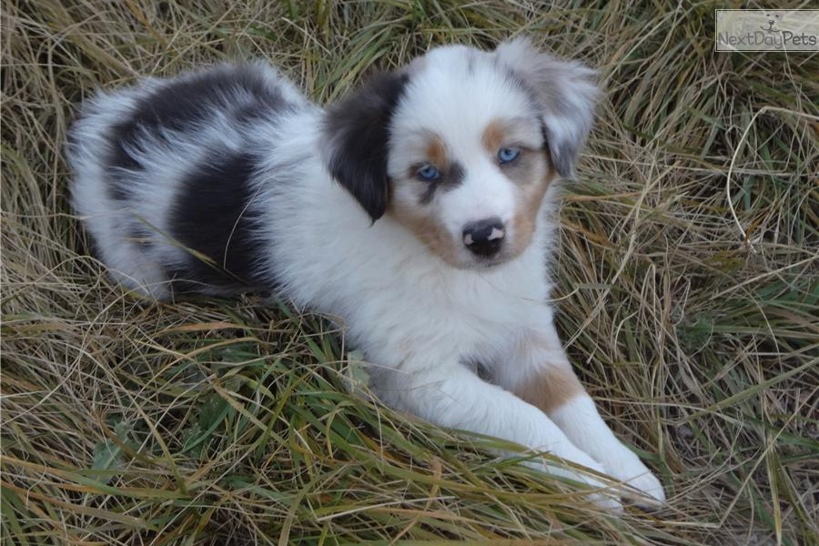 Australian Shepherd Puppies for Sale in Rapid City