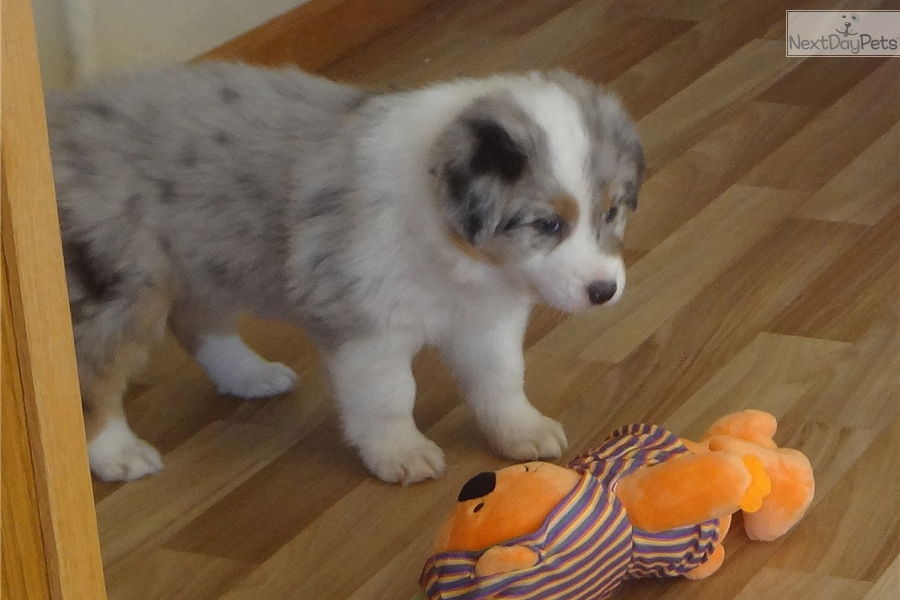Blue Merle Mini Aussie Puppy Playing  YouTube