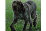 Picture of a Spinone Italiano Puppy