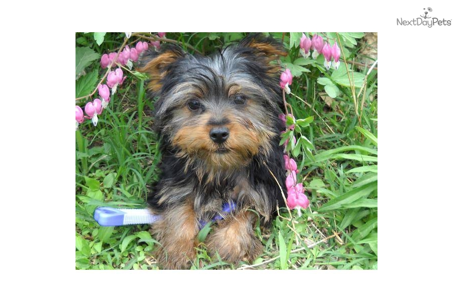 Yorkie Puppies Springfield Mo   Dog Breeds Picture