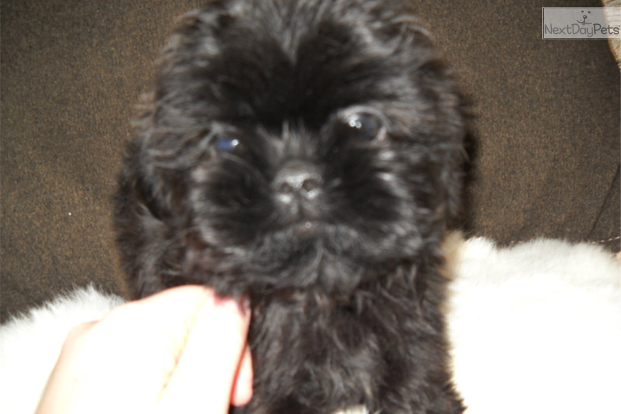 Shih Tzu puppy for sale near Springfield, Missouri   bb1fe422-9411