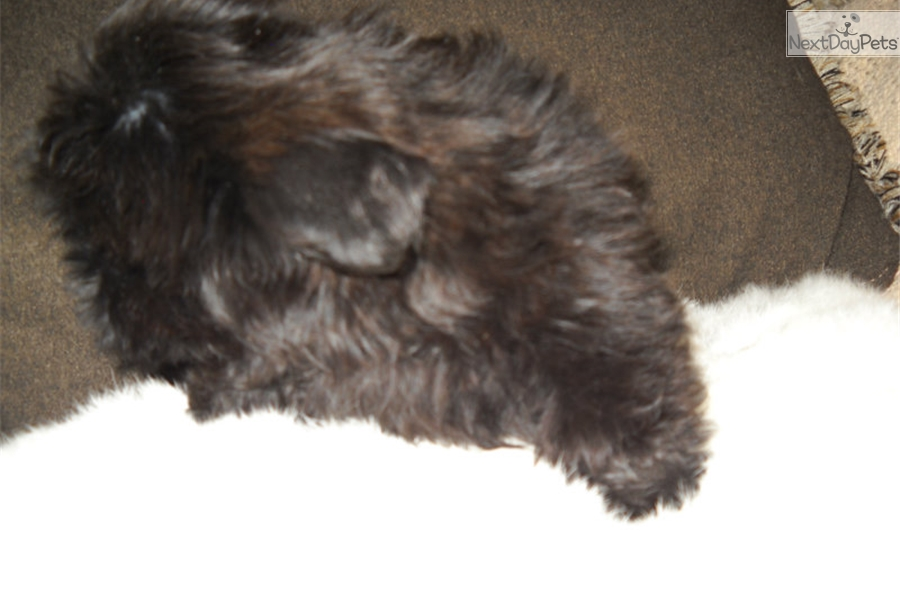 Shih Tzu puppy for sale near Springfield, Missouri   b7f5571b-c771