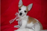 Picture of Christmas SALE!!!! $350.00 small male chihuahua