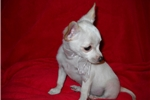 Picture of Christmas SALE! $350.00 Sam a small male chihuahua