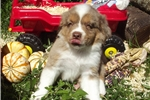 Picture of FINCH RED MERLE MALE BLUE EYES