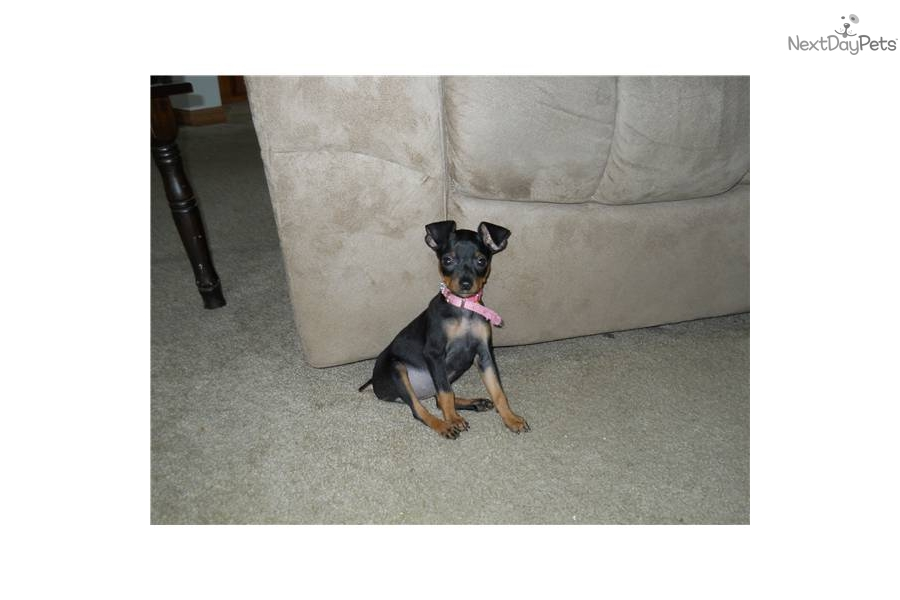 miniature pinscher for sale syracuse ny - photo#6