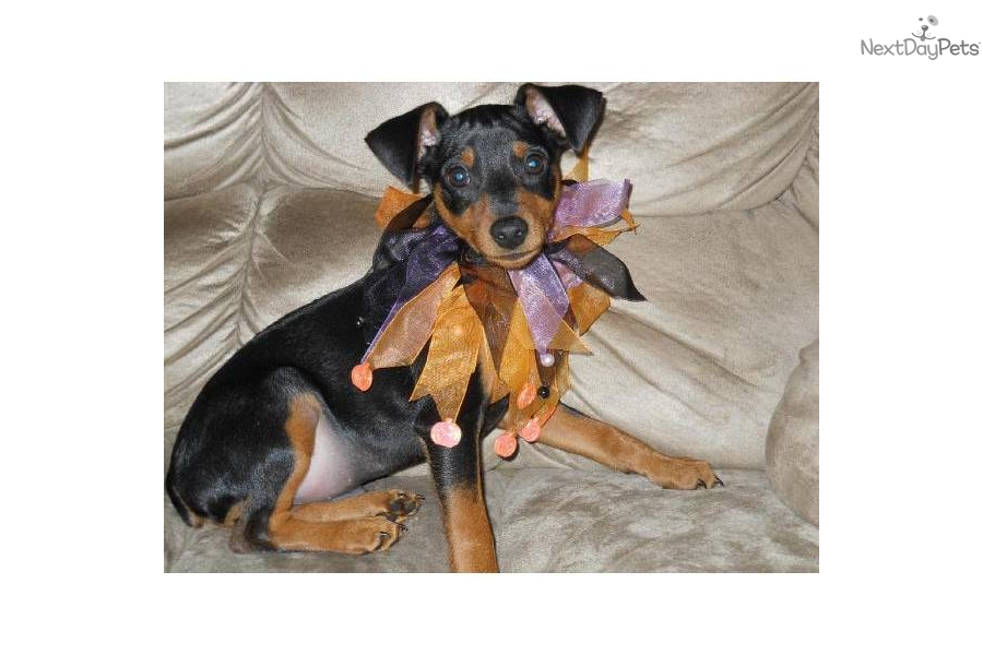 miniature pinscher for sale syracuse ny - photo#4